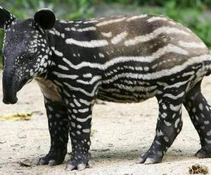 animal, cute, and tapir image