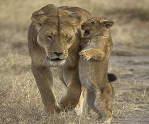 animals, baby, and lions image