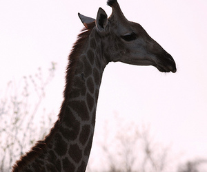canon, giraffe, and south africa image