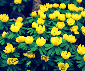 flower, yellow, and aconites image