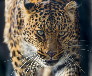 animals, leopard, and wildlife image