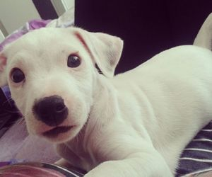 dog, jack russel, and puppy image