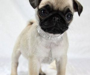 pug, puppy, and dogs image