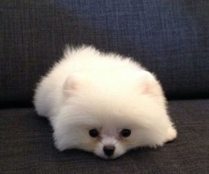 beautiful, dogs, and fluffy image