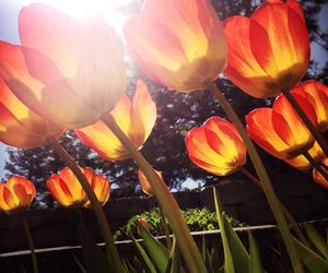 may, sunshine, and tulips image