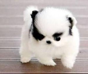 pomeranian and cute image
