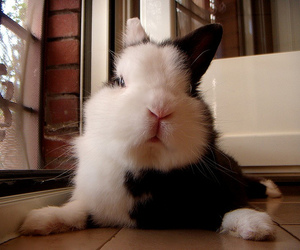 adorable, black and white, and bunny image