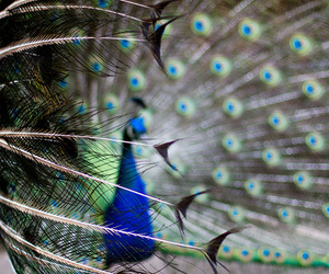 beautiful, peacock, and photography image