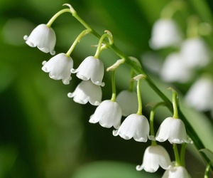 muguet and flower image