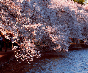 blossom, photography, and river image