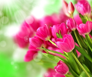 pink tulips in sunlight image
