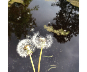 dandelions, dutch, and water image