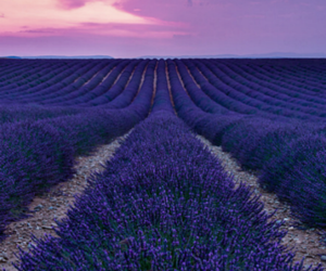 flor, lavanda, and place image