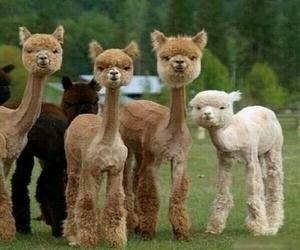 animal, funny, and alpaca image
