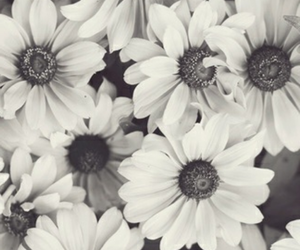 daisy, flowers, and black& white image