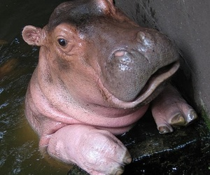 animals, hippo, and cute image