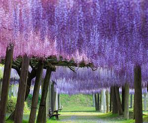 blossoms, fuji, and japan image