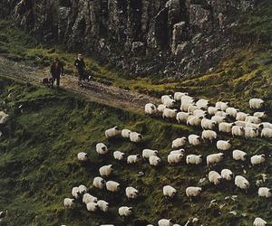 sheep and nature image