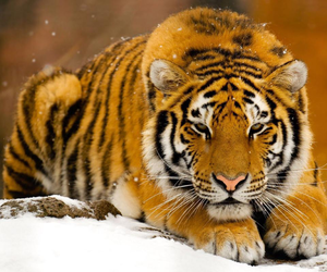 beautiful, cool, and tiger image