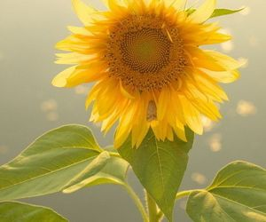 beautiful, spring, and sunflowers image