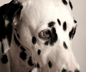 black, dalmatian, and dog image