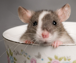 rat, cute, and animal image