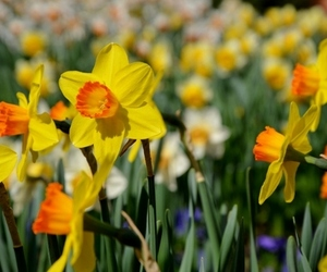 blossoms, daffodils, and flowers image