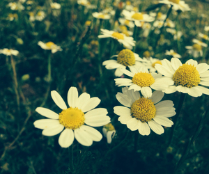 country side, daisies, and flowers image