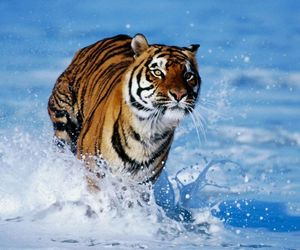 run, tiger, and water image