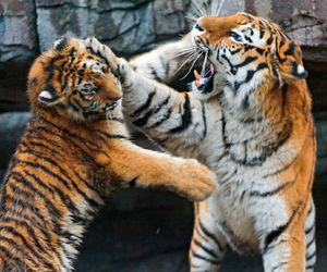 play, tigers, and faight image