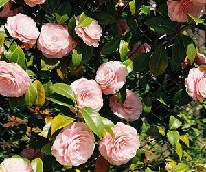 beautiful, camellia, and flower image