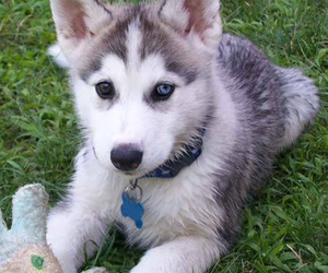 husky, dog, and puppy image