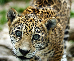 animal, cute, and jaguar image