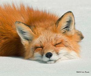 fox, animal, and sleep image