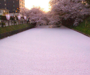 japan, pink, and river image