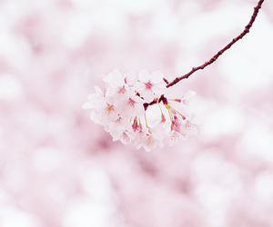 beautiful, cherry blossom, and flower image