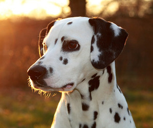 dalmatian, puppy, and sunset image