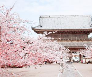 japan, sakura, and blossom image