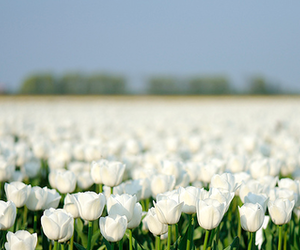 flowers, tulips, and white image