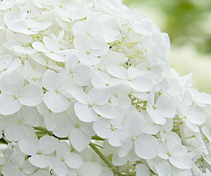 flower, white, and annabelle image