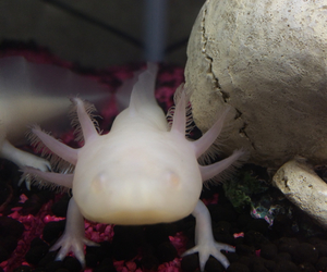 axolotl, cute, and little monster image