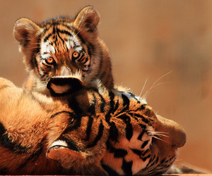 tiger, animal, and cub image