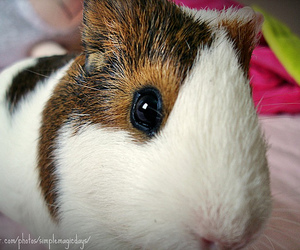 eye, fofo, and guinea pig image