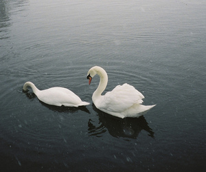 Swan, lake, and photography image