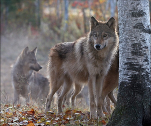 forest and wolves image