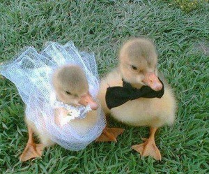 duck, animal, and wedding image