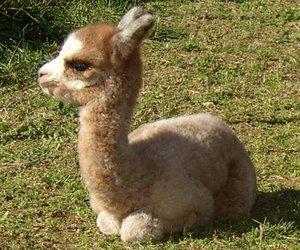 alpaca, sweet, and animal image