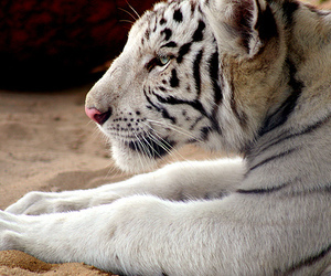 animal, tiger, and photography image