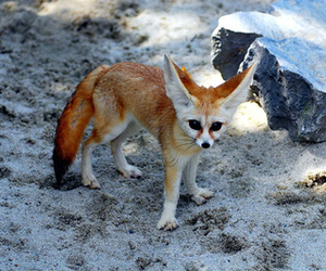 animal, cute, and fennec image