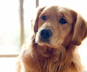 Best, dog, and golden image